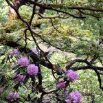 ブナの原生林・シャクナゲ
